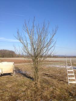 Obstbaum vor dem Schnitt