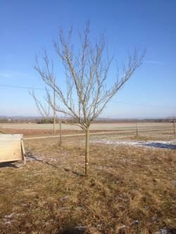 Obstbaum nach dem Schnitt